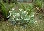 Geraniaceae - Geranium hanaense