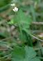 Geraniaceae - Geranium homeanum