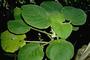 Gesneriaceae - Cyrtandra cordifolia