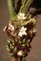 Gesneriaceae - Cyrtandra cyaneoides