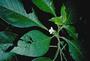 Gesneriaceae - Cyrtandra grandiflora