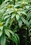 Gesneriaceae - Cyrtandra grayana