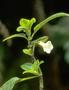 Gesneriaceae - Cyrtandra hashimotoi