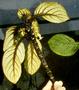 Gesneriaceae - Cyrtandra paliku