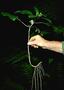 Gesneriaceae - Cyrtandra kamoolaensis