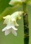 Gesneriaceae - Cyrtandra kealiae subsp. kealiae