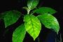 Gesneriaceae - Cyrtandra laxiflora