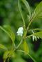 Gesneriaceae - Cyrtandra lessoniana
