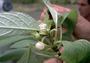 Gesneriaceae - Cyrtandra nanawaleensis