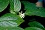 Gesneriaceae - Cyrtandra spathulata