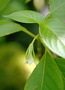 Gesneriaceae - Cyrtandra wainihaensis
