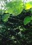 Gesneriaceae - Cyrtandra wawrae