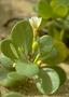 Goodeniaceae - Scaevola coriacea