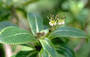 Hydrangeaceae - Broussaisia arguta