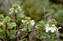 Lamiaceae - Phyllostegia ambigua