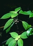 Lamiaceae - Phyllostegia floribunda