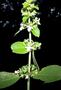 Lamiaceae - Phyllostegia vestita