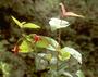 Lamiaceae - Stenogyne calycosa