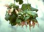 Lamiaceae - Stenogyne haliakalae