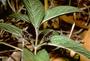 Lamiaceae - Stenogyne kaalae subsp. kaalae