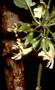 Lamiaceae - Stenogyne macrantha