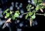 Lamiaceae - Stenogyne microphylla