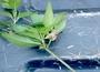 Lamiaceae - Stenogyne rugosa