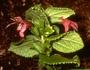 Lamiaceae - Stenogyne sessilis