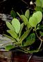 Lauraceae - Cryptocarya mannii