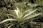 Asteliaceae - Astelia waialealae