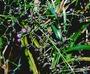Xanthorrhoeaceae - Dianella sandwicensis