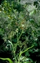 Asphodelaceae - Dianella sandwicensis