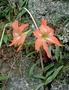 Amaryllidaceae - Hippeastrum striatum