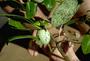 Loganiaceae - Labordia degeneri