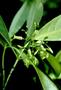Loganiaceae - Labordia helleri