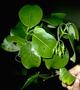 Loganiaceae - Labordia kaalae