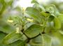 Loganiaceae - Labordia tinifolia var. tinifolia