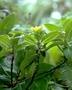 Loganiaceae - Labordia waiolani