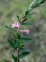 Lythraceae - Lythrum maritimum