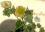 Malvaceae - Abutilon grandifolium