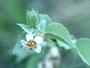 Malvaceae - Abutilon incanum