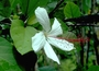 Malvaceae - Hibiscus arnottianus subsp. punaluuensis