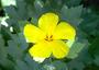 Malvaceae - Hibiscus brackenridgei subsp. brackenridgei