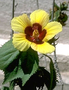 Malvaceae - Hibiscus ovalifolius