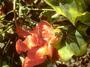 Malvaceae - Kokia cookei
