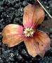 Malvaceae - Kokia drynarioides