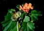 Malvaceae - Kokia kauaiensis