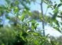 Malvaceae - Sida rhombifolia