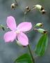 Melastomataceae - Arthrostemma ciliatum