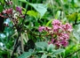 Melastomataceae - Heterocentron subtriplinervium